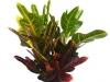 Croton Oak Leaf
