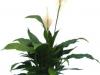 Spathiphyllum  Dario