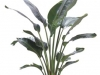 Bird of Pardise White Strelitzia