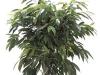 Ficus Amstel King Std