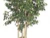 Ficus Benjamina  Spire Column