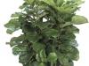 Ficus Lyrata  Bush