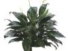 spathiphyllumtaylorsgreen06