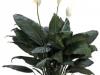 spathiphyllumsupreme10